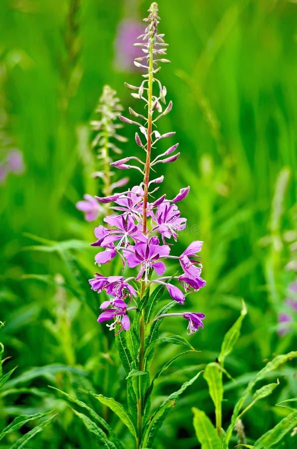 Fireweed jeden kwiat fotografia royalty free