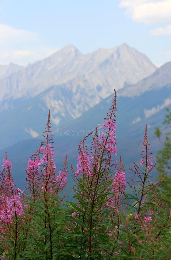 Fireweed in Kootenay lizenzfreie stockfotografie