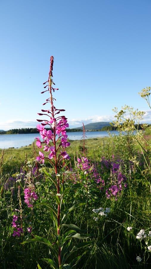 Fireweed at Lake Hornavan near Arjeplog in summer in Lapland, Sweden royalty free stock photos