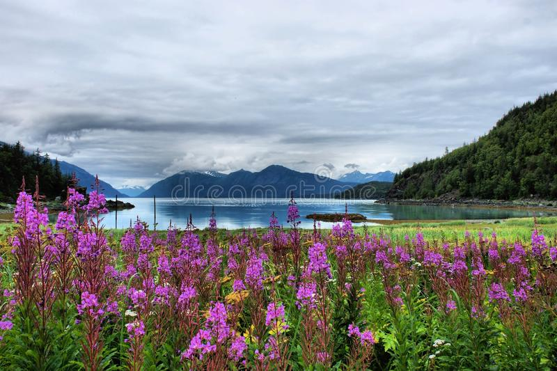 Fireweed Mountain View. A mountain view with fireweed in the fore ground. This is from Haynes Alaska royalty free stock images