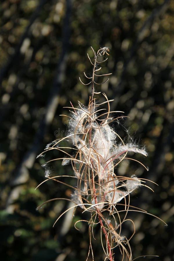 Fireweed Seedpods lizenzfreies stockfoto