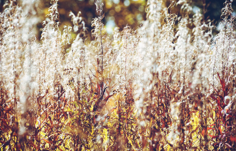 Fireweed thicket stock images
