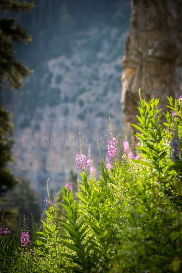 Fireweed Wildflowers with the Mountain in the background. The Fireweed wildflower is named such because it`s the first flower to begin growing after a fire goes royalty free stock photography