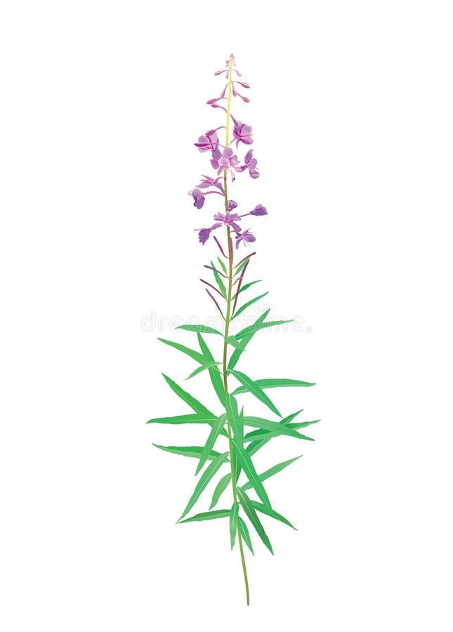 Fireweedblüte (Chamerions-angustifolium) lizenzfreie abbildung