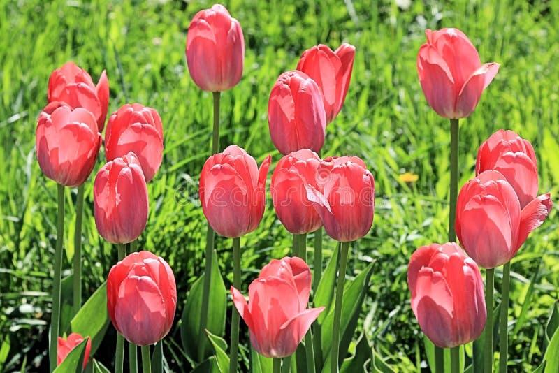 Firma rozochoceni kwitnący czerwoni tulipany na wiosny haliźnie przemaczającej zdjęcie royalty free