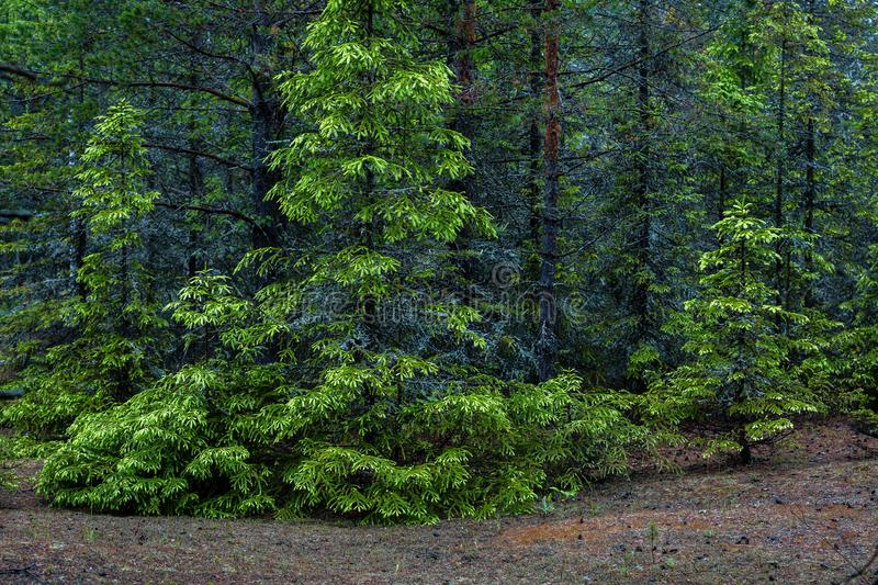Firs in a dense summer forest stock photography