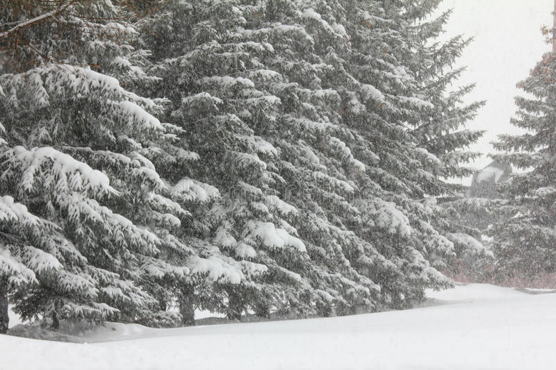 Firs and snofall