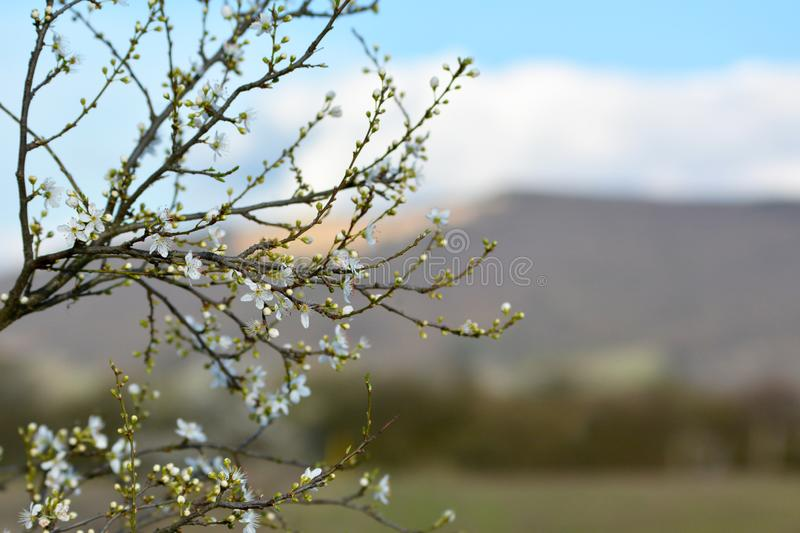 First apple tree blossoms blooming on thin branches during early spring awakening in front of blurry background stock photo