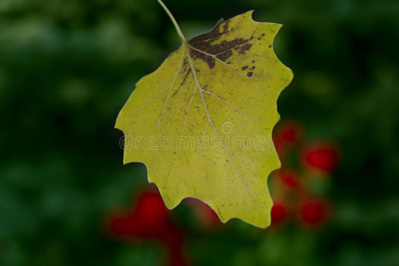 The first autumn yellow leaf on the background of trees and roses. Green background and red roses stock photo
