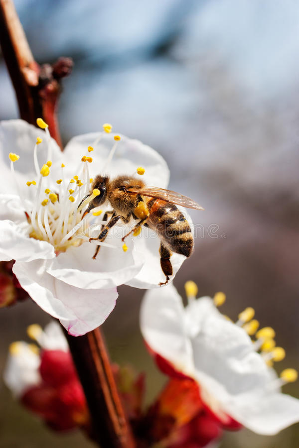 Download First bee stock image. Image of beauty, apricot, nature - 14856721