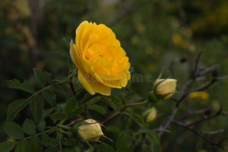 First blossoming bud on a green rose bush on a warm spring evening at sunset.  stock photography