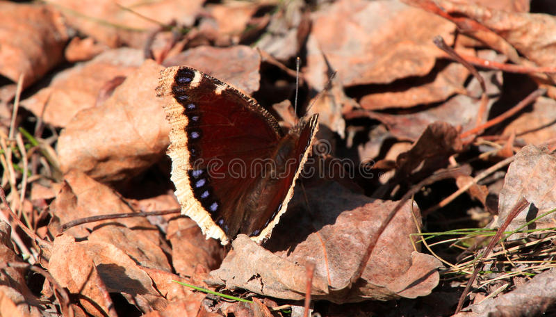 First butterfly of the spring season stock photography