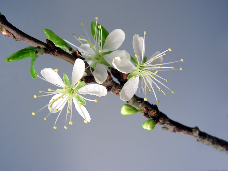 First cherry blossoms royalty free stock photography