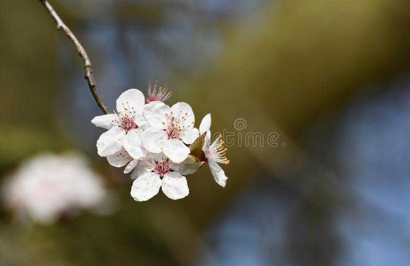 Cherry Plum Blossom Flowers. The first cherry plum tree blossoms of the year in February 2019 in the UK stock photography