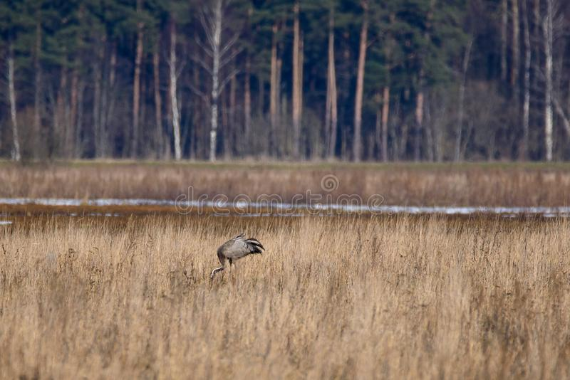 First common crane seen before spring time stock photos