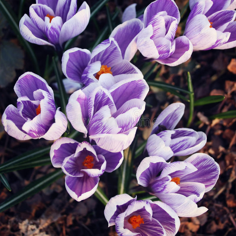 First crocus flowers. Spring blossoms. Aged photo. royalty free stock image