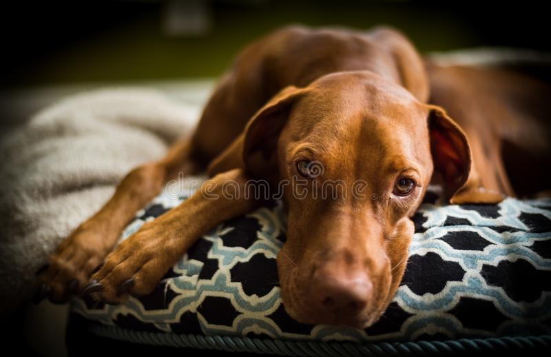 First Day of school blues - Vizsla Puppy Sad Eyes. Vizsla on dog bed with sad eyes as kids are back to school and he`s has no one to play with stock images