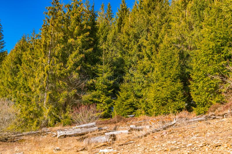 First day of spring rock texture and green pine trees stock photography