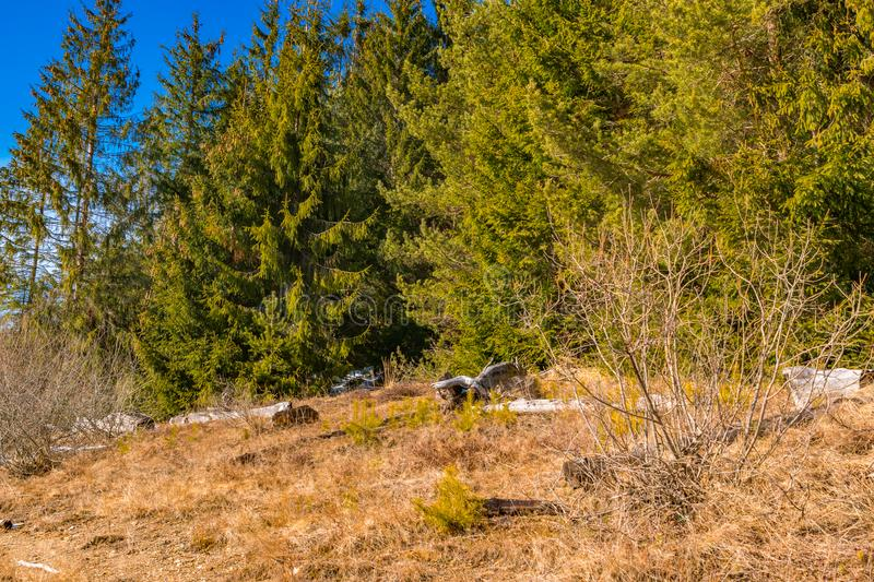 First day of spring rock texture and green pine trees stock images