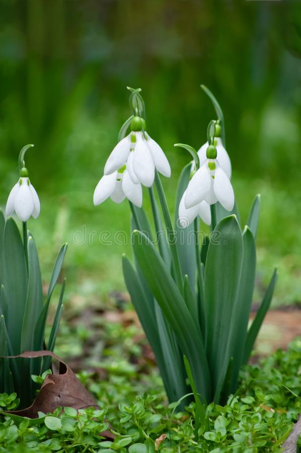 First snowdrops in springtime stock photography
