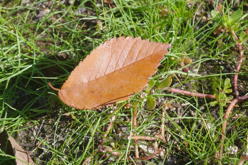 First dry leaf royalty free stock images