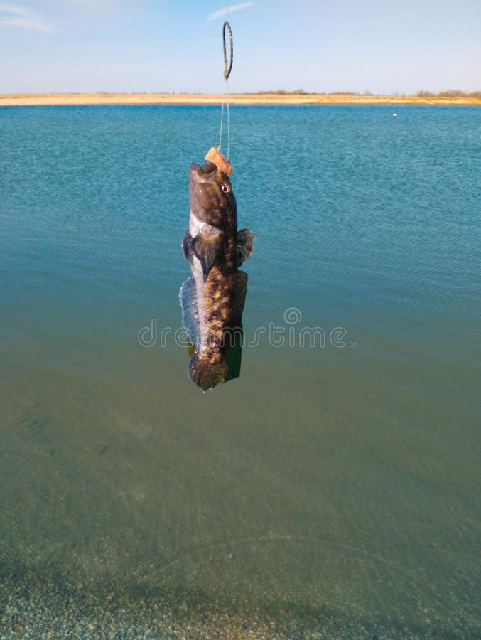 The first fish caught this season. The joy of the first catch - the first small fish close-up royalty free stock photo