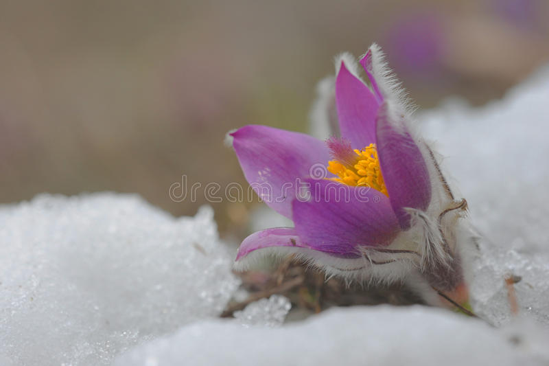 The first flower Pulsatilla grandis. Is first flower on early spring. Snow photo stock photography