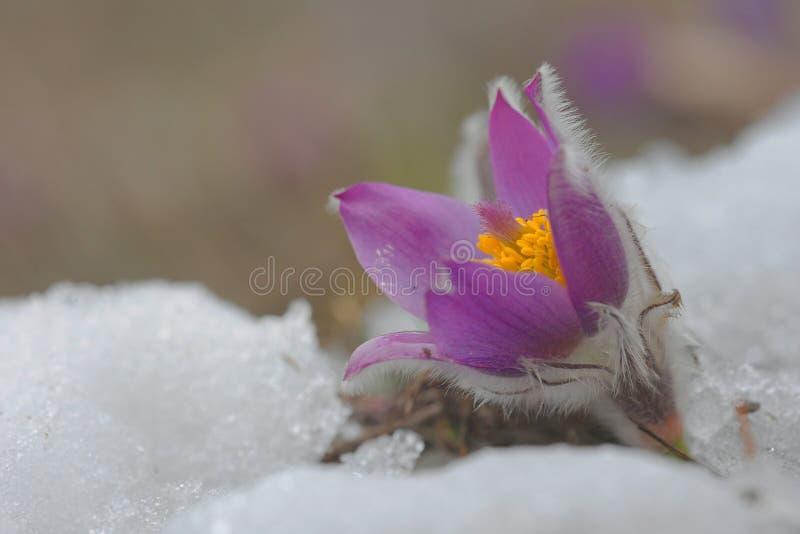 The first flower Pulsatilla grandis stock photography