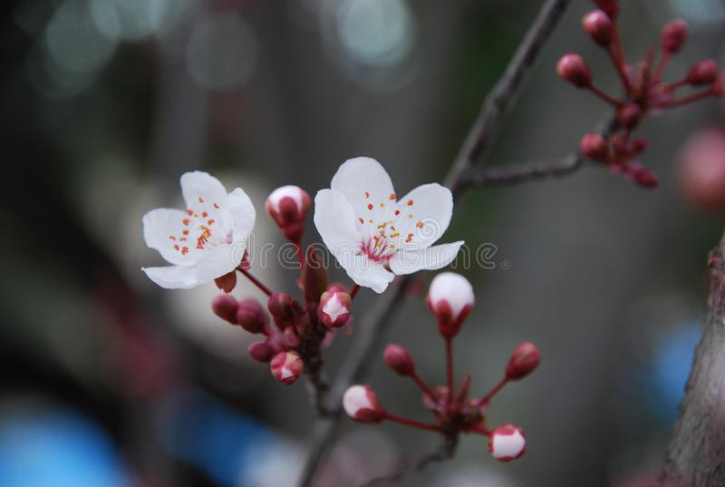 The first flowering in Spain. The beginning of spring in Toledo. Fragrant apricot on the slopes before entering the city royalty free stock photography