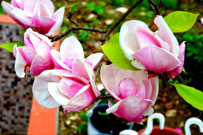 Magnolia flowers. Nice flowers in the garden in spring, in a sunny day stock images