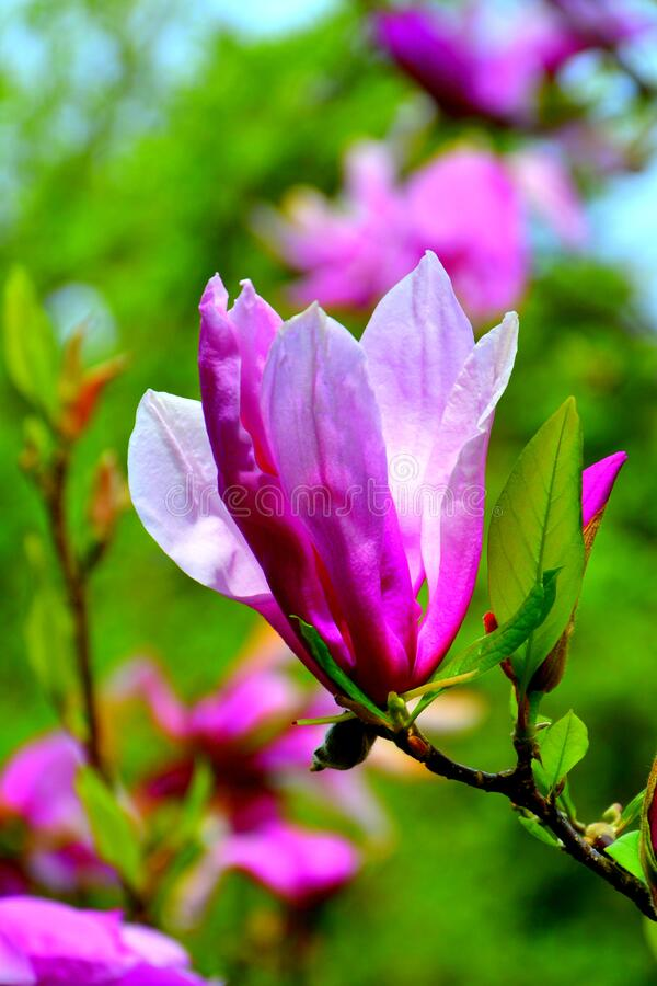Magnolia. Nice flowers in the garden in spring, in a sunny day royalty free stock images
