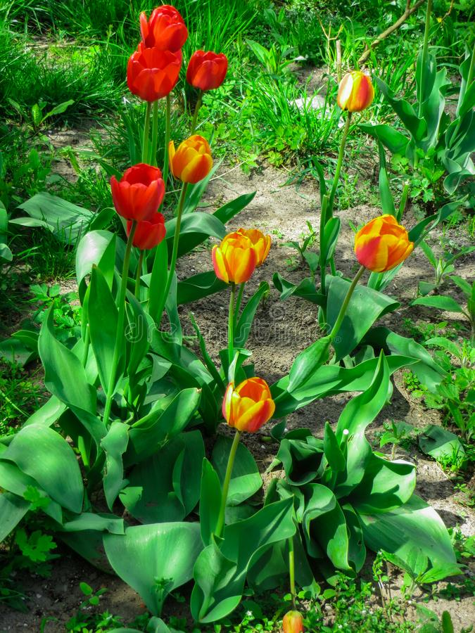 The first flowers of blossoming tulips, in the spring garden royalty free stock image