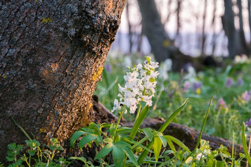 First flowers in the forest spring landscape sunny day stock image