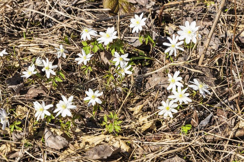 The first flowers are snowdrops. Spring flowers in a clearing royalty free stock photos