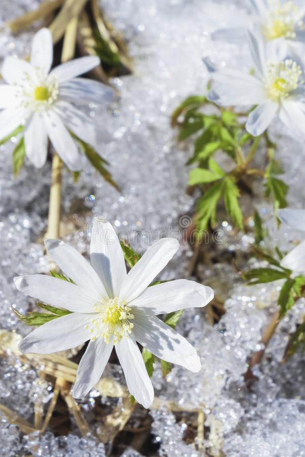 The first flowers are snowdrops. Spring flowers through melting snow stock photography