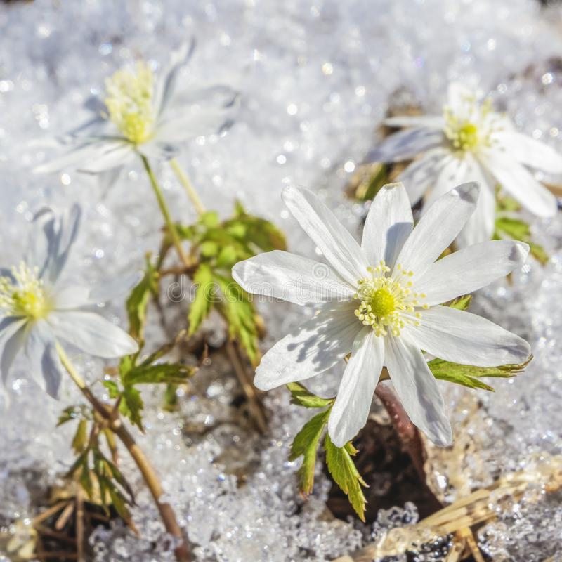 The first flowers are snowdrops. Spring flowers through melting snow stock photos