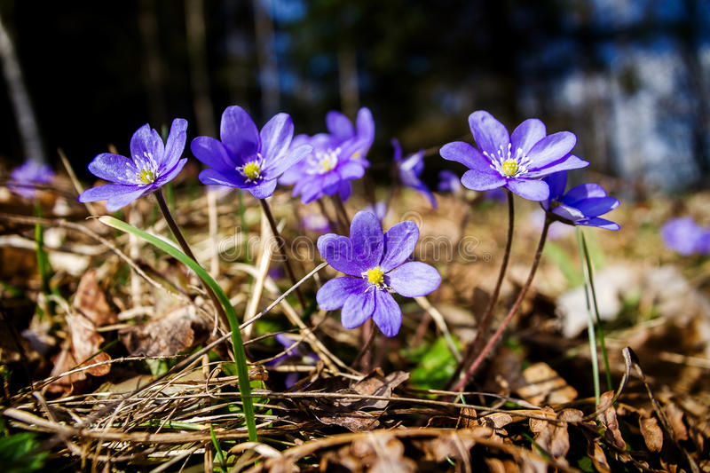 First fresh blue violets in the forest royalty free stock images