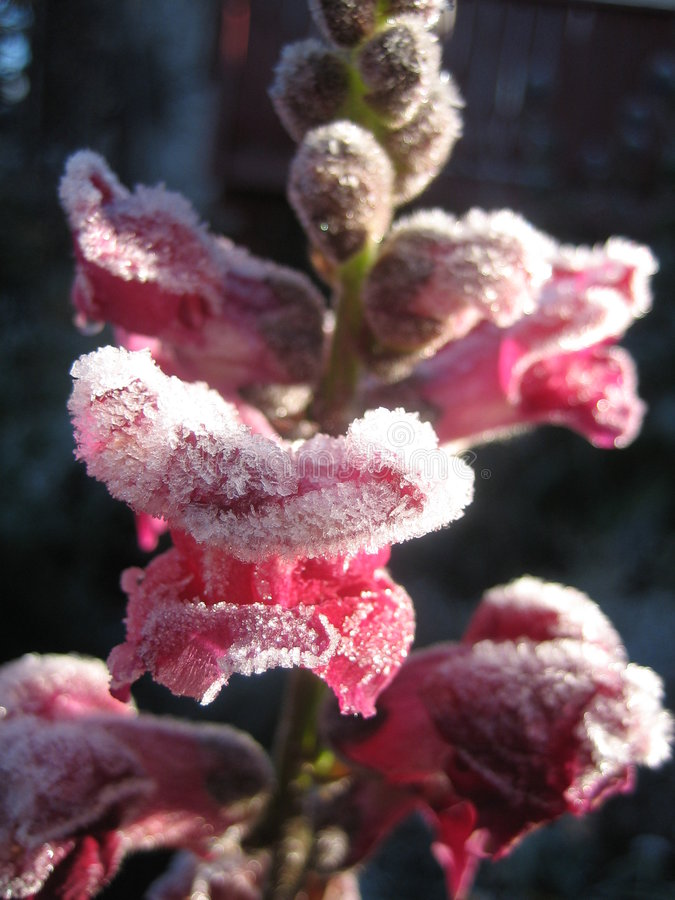 Download First Frost stock image. Image of freezing, crystals, calgary - 309693