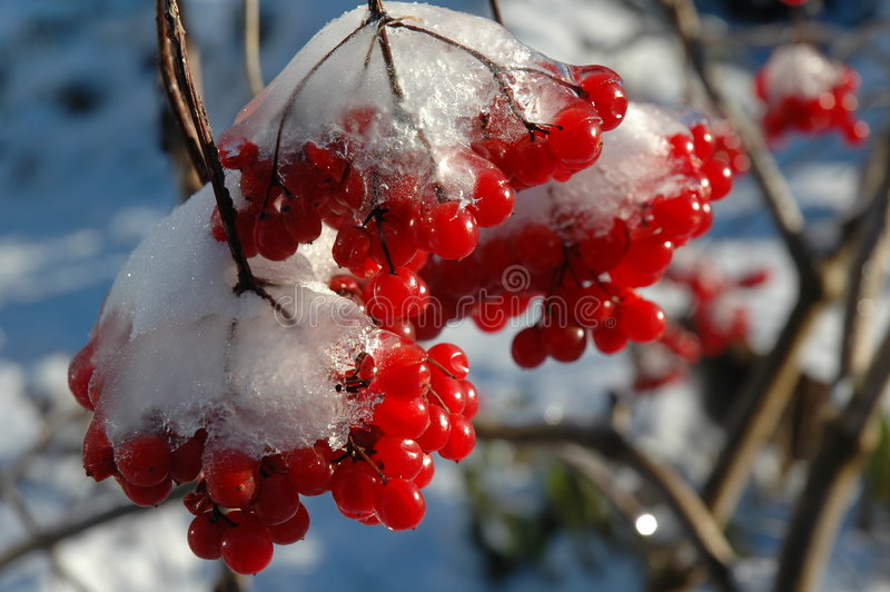 The first frost. The Snow-clad viburnum in my garden, Nikon D70 kit stock image