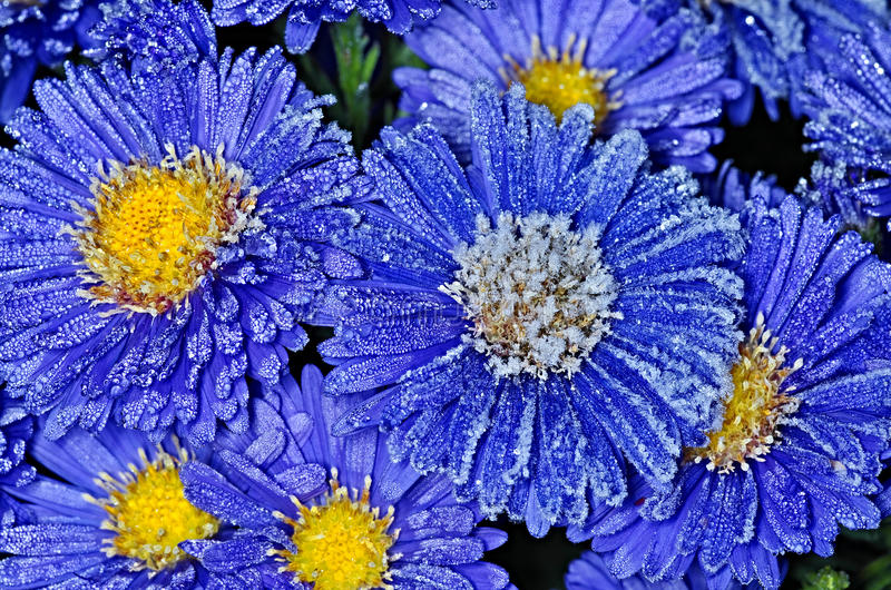 First frost. Blooming Asters covers the first frost stock image
