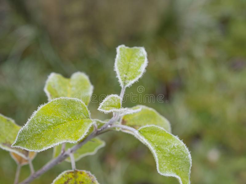 First frost - close up rime frozen green young apple tree leaves stock photo