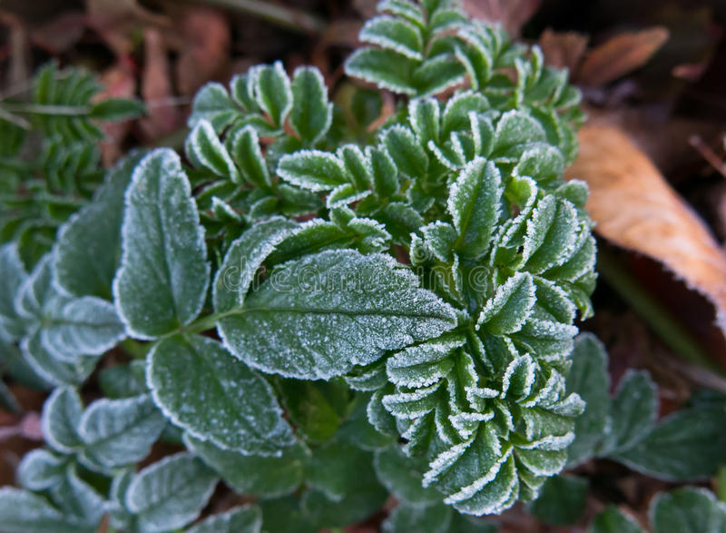 First frost on leaves of Angelica pachycarpa.  royalty free stock photo
