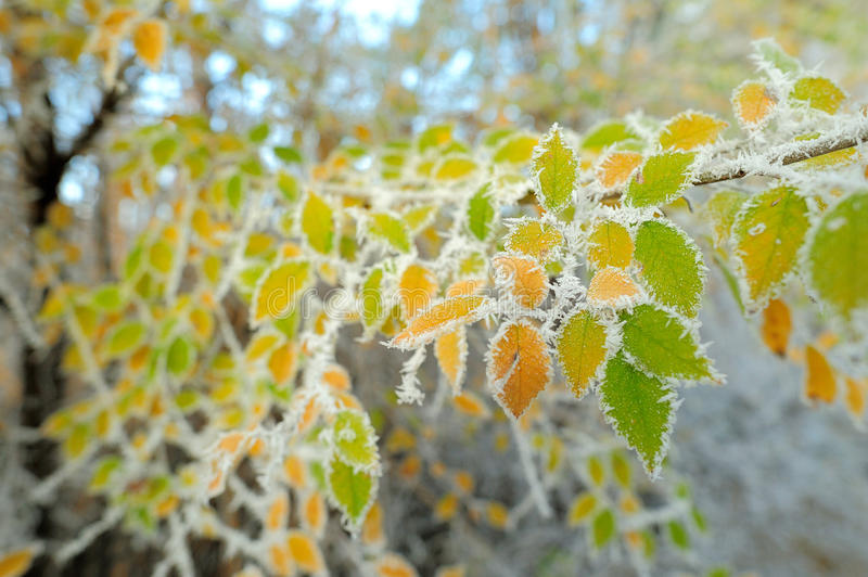 First frost on the yellow birch leaves stock photography