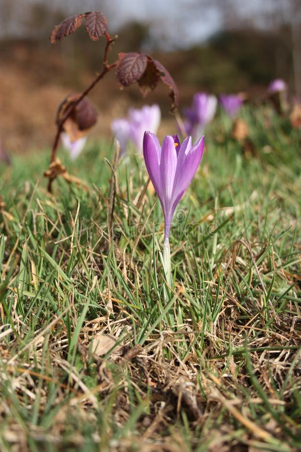 First fruits of flowers. spring is coming. here the first plants of March bloom, the good season arrives.  stock photography