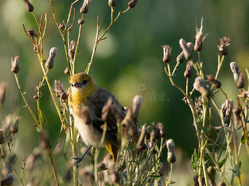 First Generation Brewster`s Warbler Looking at the Camera royalty free stock image