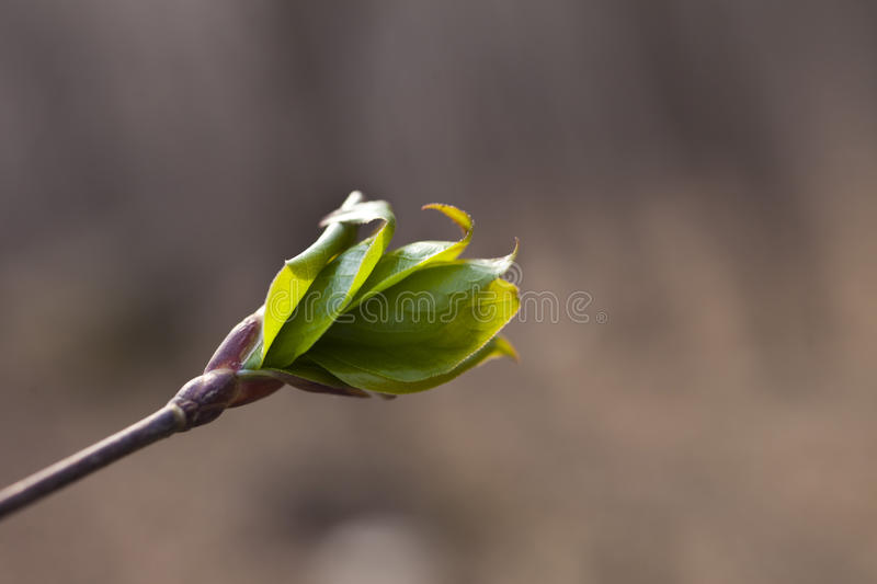 First green leaves stock image