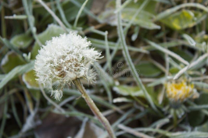 First hoar frost in autumn on a dandelion flower stock image
