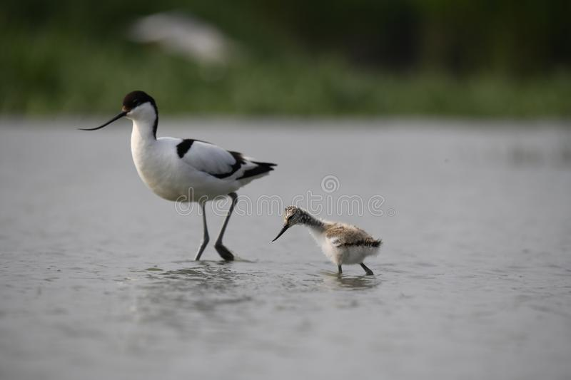 An adult avocet with his little one royalty free stock images