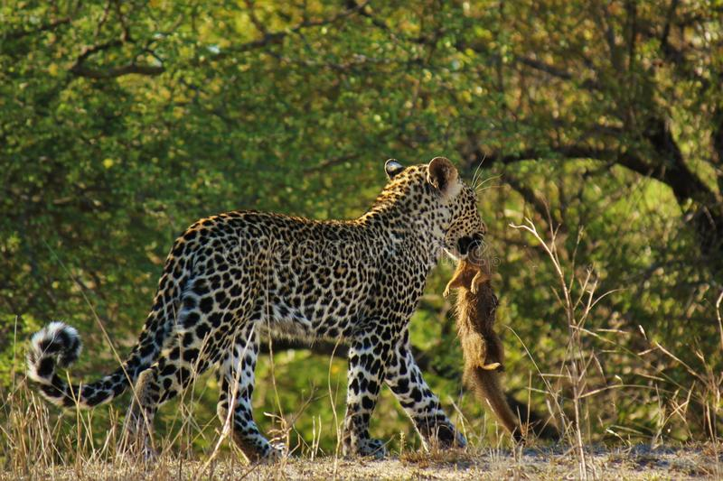 First Kill for Leopard cub. royalty free stock images