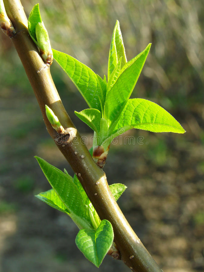 Download First leaves stock image. Image of fresh, garden, organic - 9902525